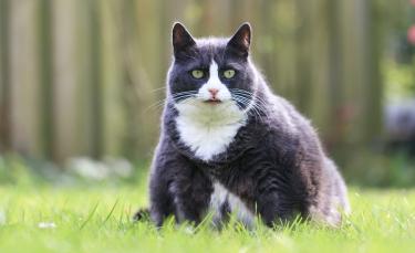 """Illustration : """"L'obésité du chat"""""""