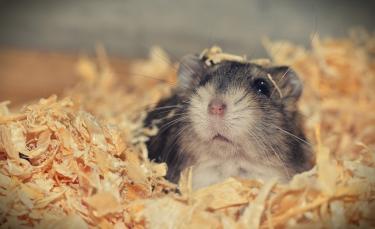 """Illustration : """"Les morsures de hamster"""""""