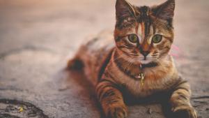 Illustration : Les vaccins nécessaires pour voyager avec son chat