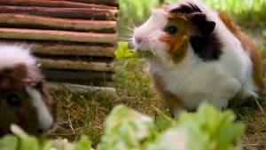 Illustration : Les besoins alimentaires du cochon d'Inde