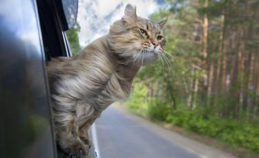 """Illustration : """"Traiter le mal des transports chez le chat"""""""