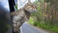 Illustration : Traiter le mal des transports chez le chat