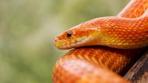 Illustration : L'hivernation chez le serpent