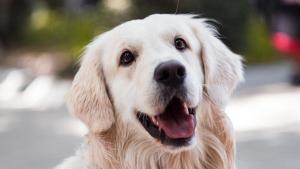 Illustration : Les moyens de communication du chien