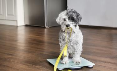 """Illustration : """"L'obésité du chien"""""""