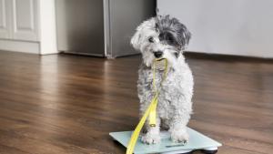 Illustration : L'obésité du chien