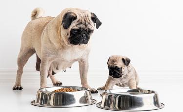 """Illustration : """"Quelles sont les allergies alimentaires du chien ?"""""""