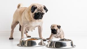 Illustration : Quelles sont les allergies alimentaires du chien ?