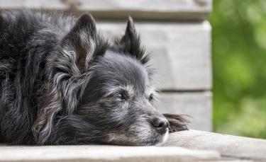 """Illustration : """"Arthrose du chien : une startup française a développé un traitement prometteur à base de cellules souches"""""""