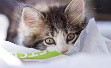 """Illustration : """"Bien accueillir un chaton à son domicile"""""""
