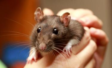"""Illustration : """"Comment caresser et manipuler un rat ?"""""""