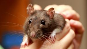 Illustration : Comment caresser et manipuler un rat ?