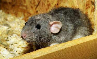 "Illustration : ""Faire garder son rat"""