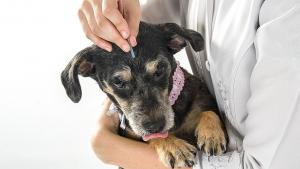 Illustration : L'acupuncture pour chien