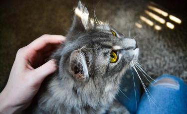 """Illustration : """"L'hyperthyroïdie chez le chat"""""""