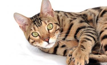 """Illustration : """"Si votre chat vous montre son postérieur, c'est pour communiquer avec vous"""""""