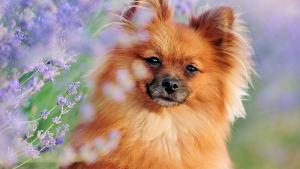 Illustration : Qu'est-ce que l'aromathérapie pour chien ?