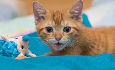 """Illustration : """"Pourquoi mon chat pleure ?"""""""