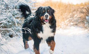 """Illustration : """"Voyager avec son chien à la montagne en été"""""""