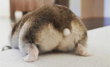"""Illustration : """"17 photos de postérieurs de hamsters qui ne manqueront pas de vous faire sourire"""""""