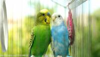 """Illustration : """"Nettoyer la cage de son oiseau de compagnie"""""""
