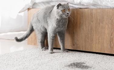 """Illustration : """"6 astuces pour enlever les taches d'urine de chat"""""""