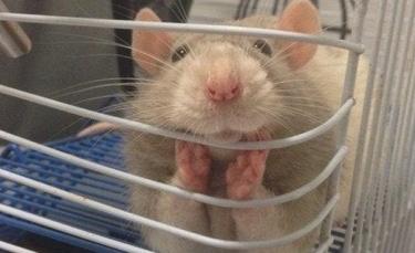 """Illustration : """"14 photos qui prouvent que le rat est un animal domestique à part entière ! """""""