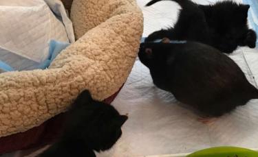 """Illustration : """"L'improbable duo formé par ces deux rats cat-sitters qui prennent en charge les chatons dès leurs premiers jours"""""""