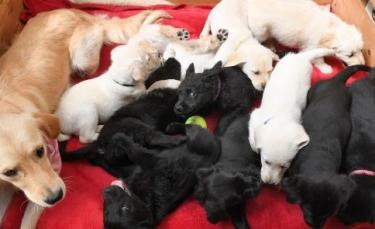 """Illustration : """"Ils sauvent un chien Labrador de l'euthanasie pour finir avec un total de 13 chiens !"""""""
