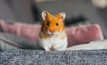 "Illustration : ""Adopter un hamster"""