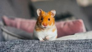 Illustration : Adopter un hamster