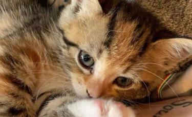 """Illustration : """"Depuis qu'il a été adopté, ce chaton ne passe plus une minute sans ses propriétaires ! """""""