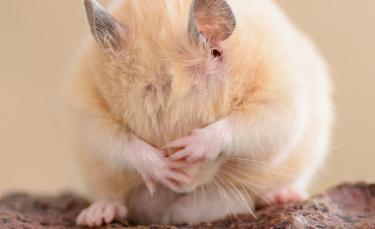 """Illustration : """"Faire face à la mort de son hamster"""""""