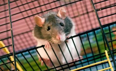 """Illustration : """"Reconnaître le sexe de son rat """""""
