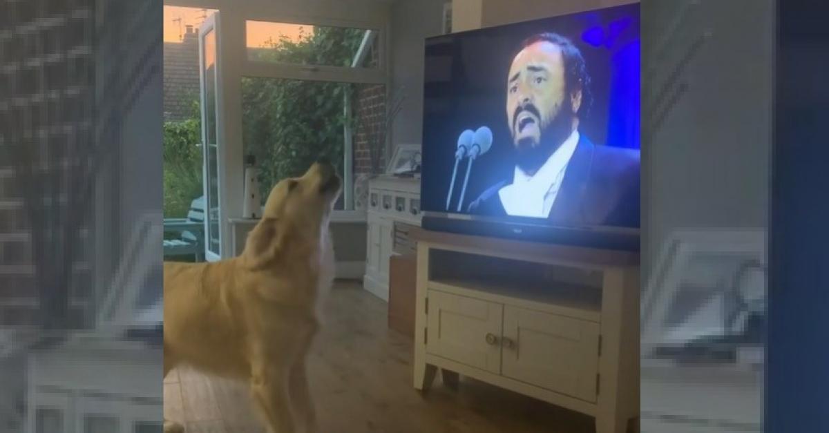 Chanteur Invetere Ce Golden Retriever Ne Peut S Empecher De Donner De La Voix Des Qu Il Entend Luciano Pavarotti