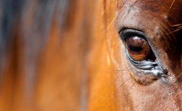 """Illustration : """"La vision chez le cheval"""""""