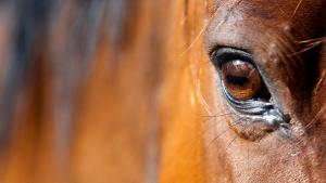 Illustration : La vision chez le cheval