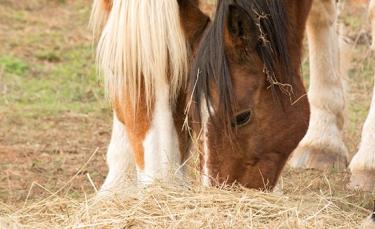 """Illustration : """"Pourquoi les chevaux mangent-ils leurs crottins ?"""""""