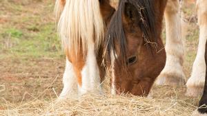 Illustration : Pourquoi les chevaux mangent-ils leurs crottins ?