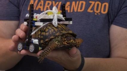 Illustration : Un groupe de vétérinaires fabrique une plateforme roulante à partir de LEGO pour aider une tortue renversée par un véhicule