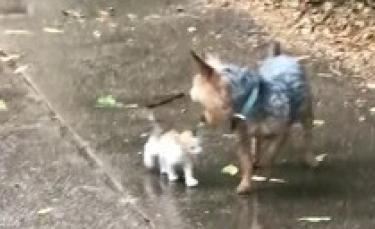 """Illustration : """"Un Yorkshire découvre et sauve un chaton errant sous une pluie battante (Vidéo)"""""""