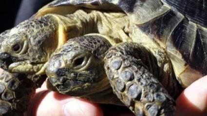 Illustration : Cette tortue à deux têtes fête sa 23e année et devient la plus vieille de son espèce