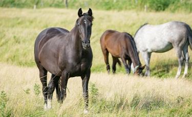 """Illustration : """"Choisir la race de son cheval"""""""
