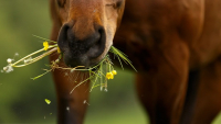 """Illustration : """"Les plantes toxiques pour le cheval """""""