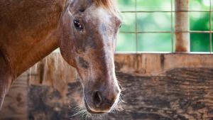 Illustration : Comment prendre soin d'un vieux cheval ?