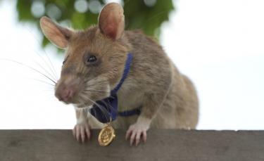 """Illustration : """"Un rat démineur reçoit une médaille pour avoir servi héroïquement et inspecté l'équivalent de 20 terrains de football!"""""""