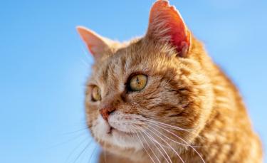 """Illustration : """"Nos chats sont-ils tous égaux ? Une étude révèle pourquoi les chats roux sont"""