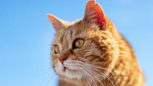 """Illustration : Nos chats sont-ils tous égaux ? Une étude révèle pourquoi les chats roux sont """"différents"""""""