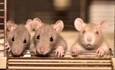 """Illustration : """"Les rats seraient capables de distinguer les congénères affamés des autres pour mieux leur venir en aide """""""