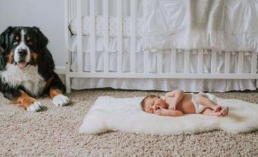 """Illustration : """"Chaque soir depuis la naissance du bébé de la famille, ce chien s'assure que rien ne lui arrive pendant son sommeil"""""""